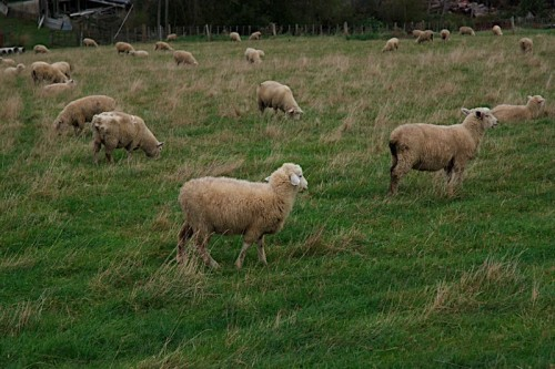 sheep-lead