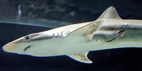 Shark-shark