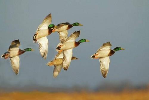 bird-mallards